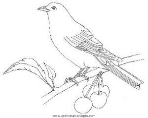 amsel gratis malvorlage in tiere, vögel - ausmalen