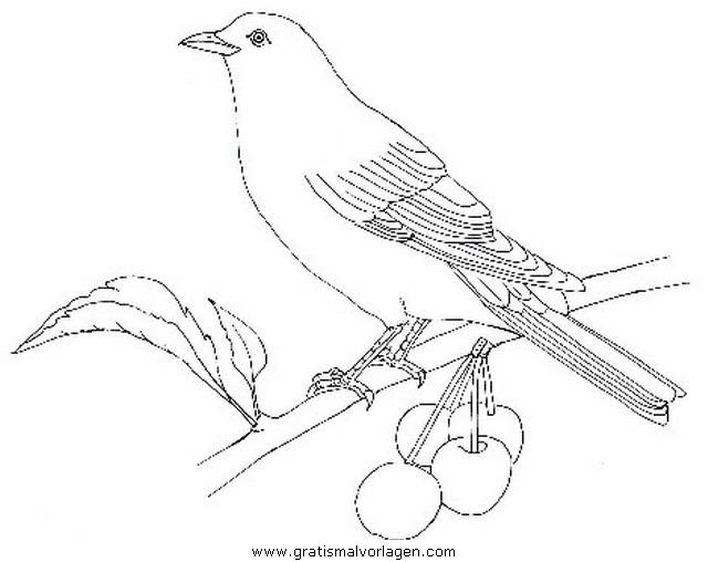 amsel gratis malvorlage in tiere vögel  ausmalen
