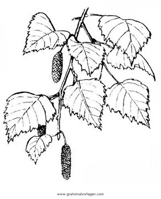 birch birke 1 gratis malvorlage in bäume natur  ausmalen
