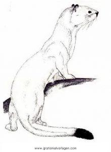 Hermelin 1 Gratis Malvorlage In Nagetiere Tiere Ausmalen