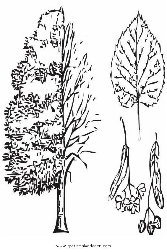 linde 0 gratis malvorlage in bäume natur  ausmalen