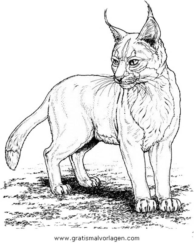 luchs 11 gratis malvorlage in tiere tiger  ausmalen